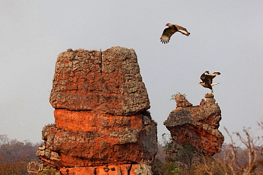 Southern caracara (Caracara plancus), two flying over rock formation. Chapada dos Guimaraes, Mato Grosso, Brazil.