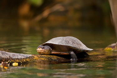 Geoffroy's side-necked turtle (Phrynops geoffroanus) in the Cerrado. Bonito, Mato Grosso do Sul, Brazil.