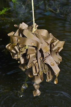 Newt eggs found on a 'spawning mop' made of a bundle of cloth left in a pond for female newts to lay eggs on, near Wells, Somerset, UK, April 2018. Model released.