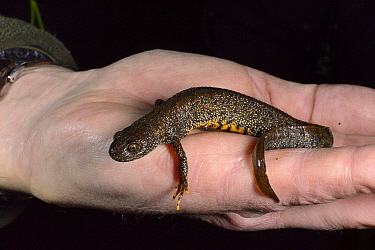 Great crested newt (Triturus cristatus) female found during a nocturnal survey at a dew pond renovated by the Mendip Ponds Project, near Cheddar, Somerset, UK, March 2018. Model released.