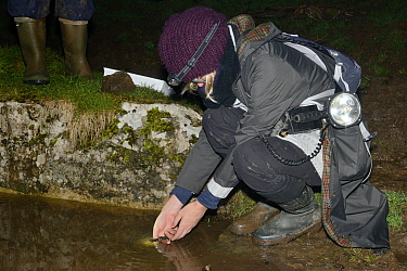 Member of the Reptile and Amphibian Group for Somerset releasing a female Great crested newt (Triturus cristatus) caught during a nocturnal survey at a dew pond renovated by the Mendip Ponds Project,...
