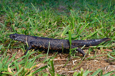 Great crested newt (Triturus cristatus) placed on a lawn during a sniffer dog training exercise, Somerset, UK, September 2018.