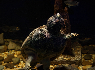 Alligator snapping turtle (Macrochelys temminckii) captive