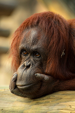 Bornean orangutan (Pongo pygmaeus) resting, Captive