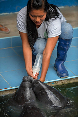 Woman bottle feeding Amazonian manatees (Trichechus inunguis) at CREA rehabilitation centre, Iquitos, Peru.