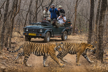 Bengal tiger (Panthera tigris tigris), two sub-adults crossing dirt road with tourists watching and photographing from jeep in background. Ranthambore National Park, Rajasthan, India.