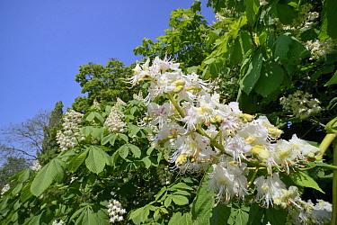 Horse Chestnut (Aesculus hippocastanum) flower candelabras Wiltshire, UK, May.