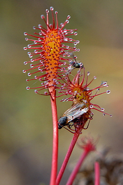 Small flies trapped by the sticky hairs of an Oblong-leaved / Long-leaved sundew (Drosera intermedia), Godlingston Heath, Dorset, UK, July.