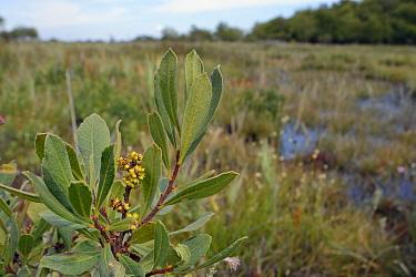 Bog myrtle / Sweet gale (Myrica gale) with ripening fruits in boggy area, Studland Heath, Dorset, UK, July.