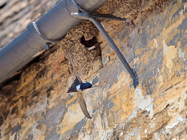 House martin (Delichon urbicum) flying from its mud nest under the eaves of cottage, Lacock, Wiltshire, UK, May.