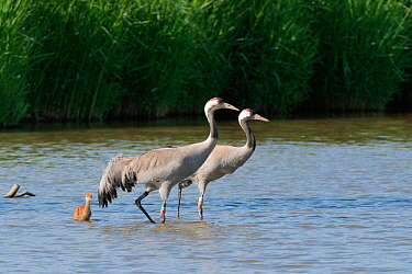 Common / Eurasian crane (Grus grus) pair 'Monty' and 'Sedge' released by the Great Crane Project in 2010, with their young chick in marshland pool, Slimbridge, Gloucestershire, UK, Jun...