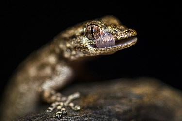 Moorish gecko (Tarentola mauritanica) cleaning face, Sado Estuary, Portugal. September