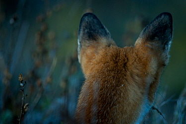 Red fox (Vulpes vulpes) rear view of head and ears, Sado Estuary, Portugal. September