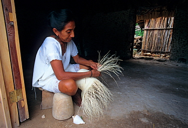 Maya woman weaving Panama hat with fibres of Jipijapa (Carludovica palmata) a palm-like perennial plant, Santa Cruz Hacienda, Yucatan Peninsula, Mexico, June