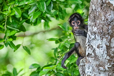 Central American spider monkey (Ateles geoffroyi) juvenile eating, Calakmul Biosphere Reserve, Yucatan Peninsula, Mexico, August