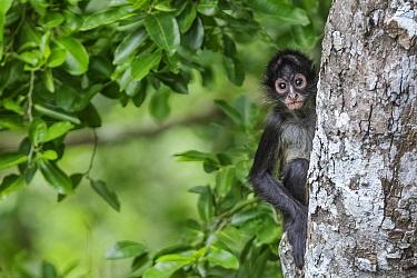 Central American spider monkey (Ateles geoffroyi) juvenile, Calakmul Biosphere Reserve, Yucatan Peninsula, Mexico, August