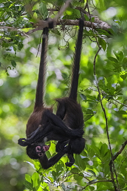 Central American spider monkey (Ateles geoffroyi) juveniles hanging by tails and playing, Calakmul Biosphere Reserve, Yucatan Peninsula, Mexico, August