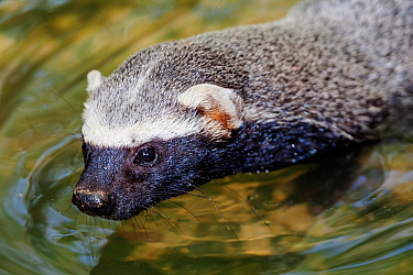 Greater grison (Galictis vittata) in water, captive, Palenque, southern Mexico, July
