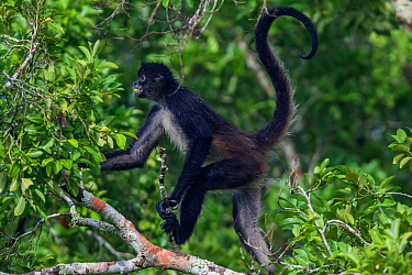 Central American Spider Monkey (Ateles geoffroyi) with fruit in mouth, Dzibanche, Yucatan Peninsula, Mexico, August