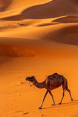 Arabian / Dromedary Camel (Camelus dromedarius), domesticated, Erg Chebbi dunes near Merzouga, Sahara Desert, Morocco, October
