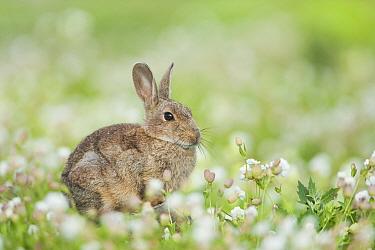 Rabbit (Oryctolagus cuniculus) amongst Sea Campion (Silene uniflora), UK