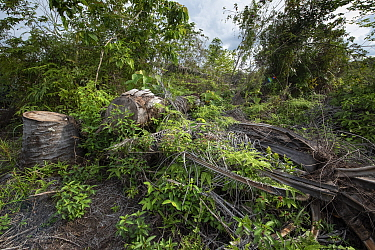 Cut stump of palm oil tree during restoration work carried out by staff from the Orangutan Information Centre, North Sumatra. The staff begin by clearing oil palms from purchased land, often former il...
