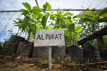 Rainforest plants grown in nursery to restore rainforest habitat to former palm oil plantations. Restoration work carried out by staff from the Orangutan Information Centre, North Sumatra. . September...