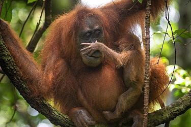 Sumatran orangutan (Pongo abelii) mother and baby, Bukit Lawang, North Sumatra.