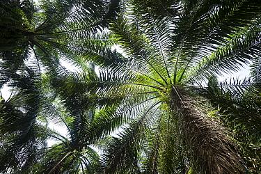 Oil palm (Elaeis guineensis) tree plantation, North Sumatra.