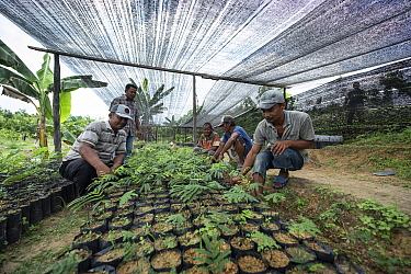 Conservation workers growing rainforest plants to restore palm oil plantations to rainforest habitat. Restoration work carried out by staff from the Orangutan Information Centre, North Sumatra. Septem...