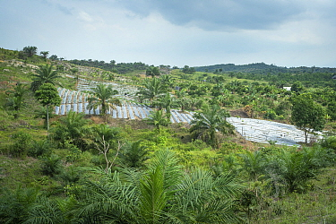 Rainforest restoration work by staff from the Orangutan Information Centre, North Sumatra. Oil palms are cleared from purchased land, often former illegal plantations, then plants grown from seed coll...