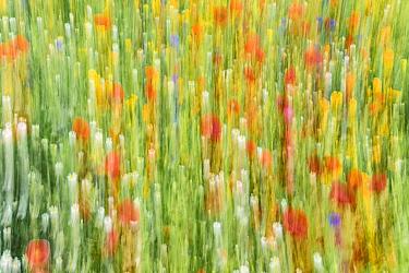 Wildflower abstract, Whitburn, Tyne & Wear, England, UK.
