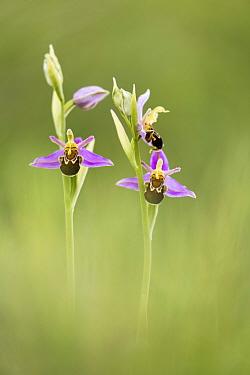 Bee orchids (Ophrys apifera), Badbury Rings, Wimborne, Dorset, England, UK.