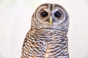 Rufous-legged owl (Strix rufipes) at the Akiba Fukurou Owl Cafe, Tokyo, Japan