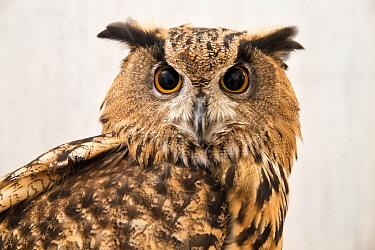 Eagle owl (Bubo sp) at the Akiba Fukurou Owl Cafe, Tokyo, Japan