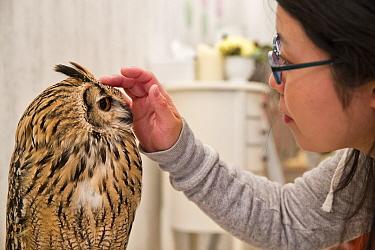 Tourist stroking an Eagle owl (Bubo sp) at the Akiba Fukurou Owl Cafe, Tokyo.