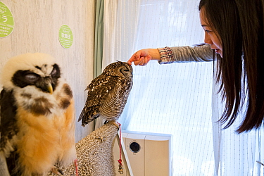 Tourist stroking a Spotted eagle owl (Bubo africanus) one of the owls at the Akiba Fukurou Owl Cafe in Tokyo, Japan.