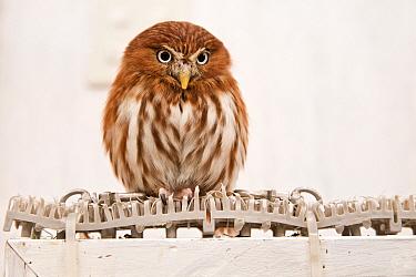 Ferruginous pygmy owl (Glaucidium brasilianum) at the Akiba Fukurou Owl Cafe, Tokyo, Japan