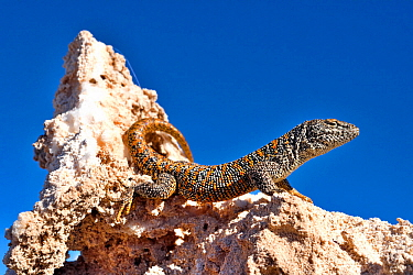 Fabian's lizard (Liolaemus fabiani) basking on salt deposit under blue sky. Salar de Atacama, Chile. September. Controlled conditions.
