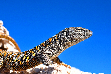 Fabian's lizard (Liolaemus fabiani) basking under blue sky, portrait. Salar de Atacama, Chile. September. Controlled conditions.