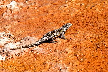Fabian's lizard (Liolaemus fabiani). Salar de Atacama, Chile. September.
