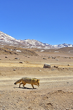 Andean fox (Lycalopex culpaeus) walking in the Altiplano, Andes, Bolivia. September 2018.