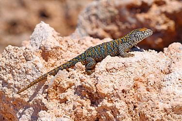 Fabian's lizard (Liolaemus fabiani) basking on salt deposit. Salar de Atacama, Chile. September.