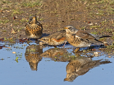 Fieldfare (Turdus pilaris) and Redwing (Turdus iliacus) newly arrived migrants from the continent drinking and bathing in puddle. North Norfolk, England, UK. October.