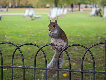 Grey squirrel (Sciurus carolinensis) sitting on fence in St James Park, London, England, UK.