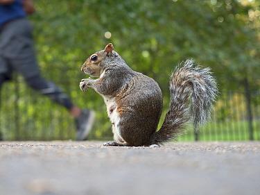 Grey squirrel (Sciurus carolinensis) in St James Park, London, England, UK.