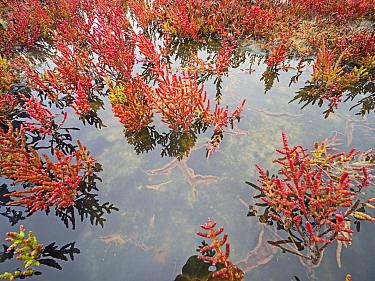 Samphire (Salicornia sp) in saltmarsh. Holkham National Nature Reserve, North Norfolk, England, UK. October.