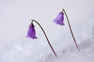 Snowbell (Soldanella alpina) flowering on edge of snow patch, Mangart Pass, Triglavski National Park, Julian Alps, Slovenia.