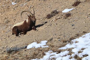 Himalayan ibex (Capra sibirica) male resting, Spiti valley, Cold Desert Biosphere Reserve, Himalaya mountains, Himachal Pradesh, India