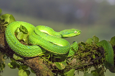 Side-striped palm pit viper (Bothriechis lateralis)  adult, Costa Rica
